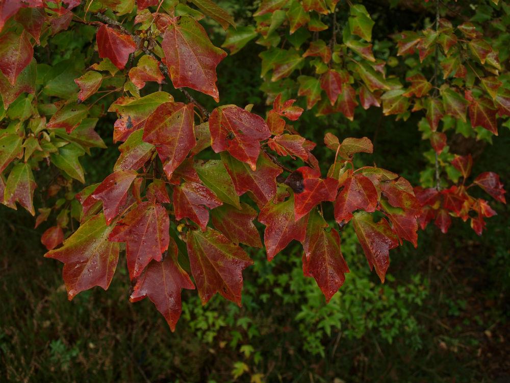 tuinontwerp-tuinadvies-tuinarchitect-tuinaanleg-hovenier-tuinontwerper-Toffe Tuinen-Laura Knoops-herfstverkleuring-herfst-herfst tuin- seizoensbeleving